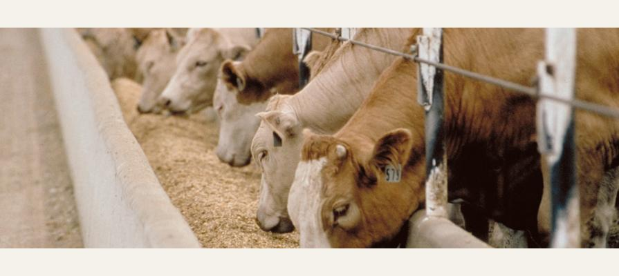 Meatpackers and Feedlots Closing